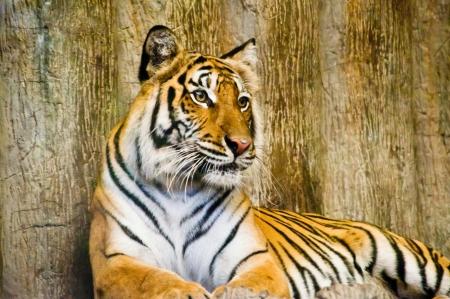 Tiger in Khao Khew Open zoo photo