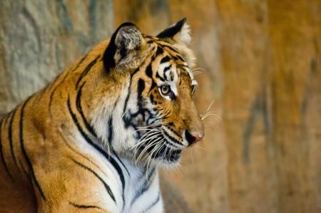 Khao Khew Open 동물원의 호랑이 스톡 콘텐츠