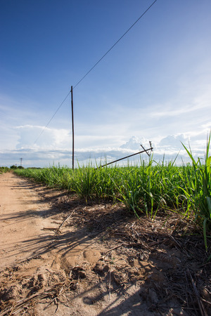sugarcane farm with blue sky photo