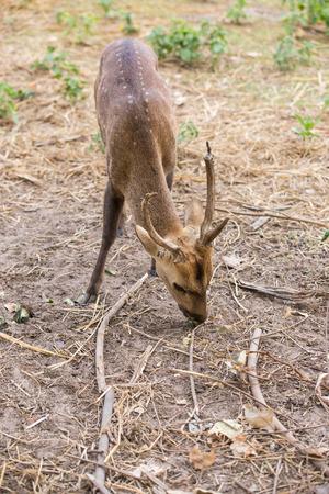 big ear: cute deer in zoo