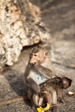 simian: Monkey in nature at Chonburi Thailand