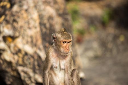 biped: Monkey in nature at Chonburi Thailand