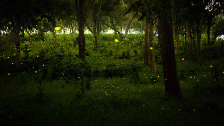 yellow light of firefly, insect or bug animal, fly in nature forest over the glass at night after sunset time, beautiful nature landscape 스톡 콘텐츠
