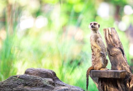 single alone and cute meerkat stand on dry branch with blur copy space and empty background of green leaf and forest in Africa