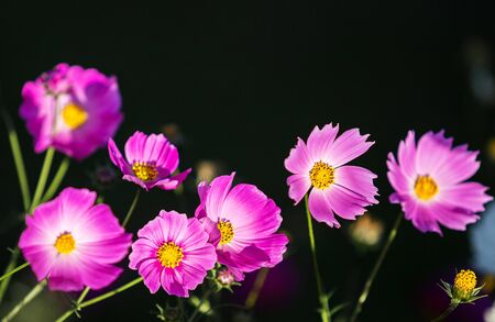pink cosmos flower on high mountain in asia with beautiful light from sun in evening time with dark or black background