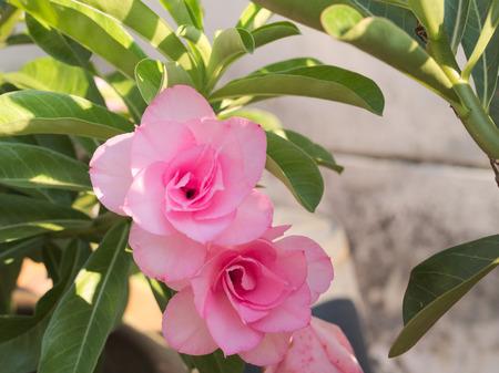 pink plumeria: Frangipani flowers