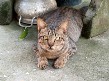characterization: Thailand cat , Originated in Thailand  Characterization of intelligence is capable of thinking about myself. Flattering love , owner