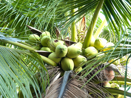 utilized: Coconut is a plant which can be utilized in many ways, such as water and coconut meat to eat.
