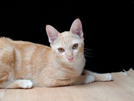 Thailand catInbred cat folk Stock Photo