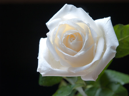 her: White roses , This is where my love for her.
