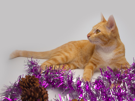 Thailand cat , a clever idea, known as flatter love. Stock Photo