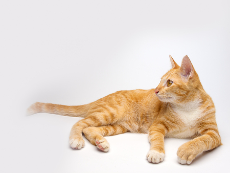 flatter: Thailand cat , a clever idea, known as flatter love. Stock Photo