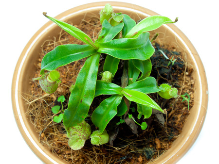 pitfall: tropical pitcher plants , a type of carnivorous plant. Stock Photo