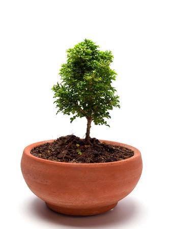 jessamine: Arancione Jessamine raso-Wood, Cosmetic Corteccia di albero