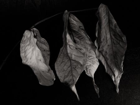 dried leaf: Dried leaf  , Black background.