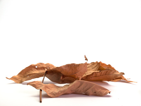 dried leaf: Dried leaf  , White background. (View with copy space)