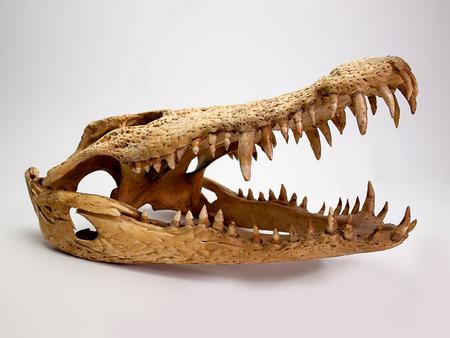jawbone: Crocodile skull  on white background . Crocodylidae .