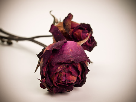 withered red rose. Beauty death flower. (Vintage)