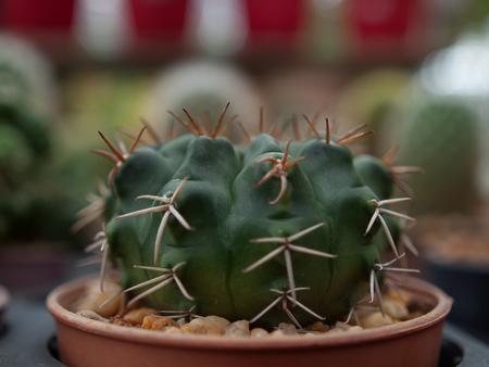 Close up Cactus tree on wood Still Life Natural.(soft focus ) Stock Photo