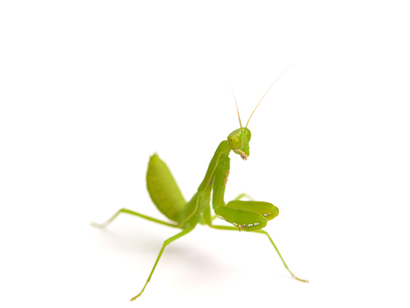 mantid: Praying mantis ,on white background.(selective focus) Stock Photo