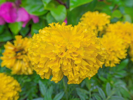 marigold, yellow flower with leaf background.