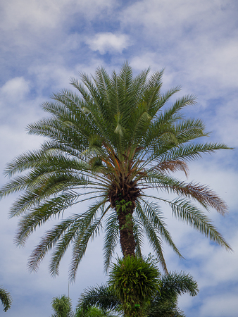 Green beautiful palm tree , Beautiful sky background. Stock Photo