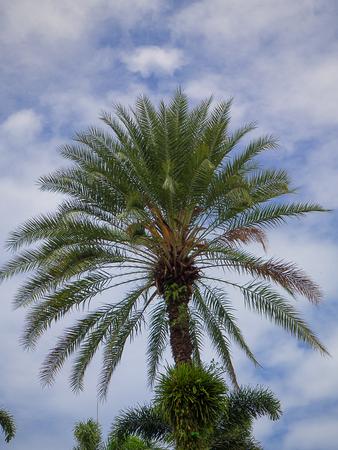 Vert magnifique palmier, fond de ciel magnifique. Banque d'images - 84916917