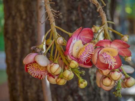 Sal flowers, Cannonball Tree ,For the background. Stock Photo