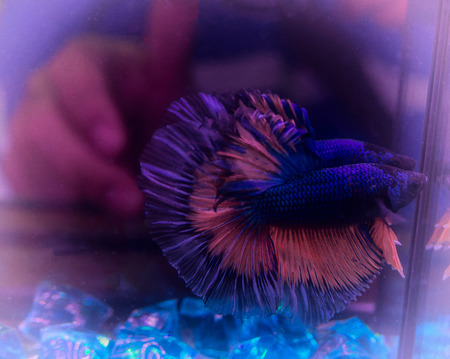 Siamese fighting fish , Beauty in nature.  (Vintage colors picture) Stock Photo