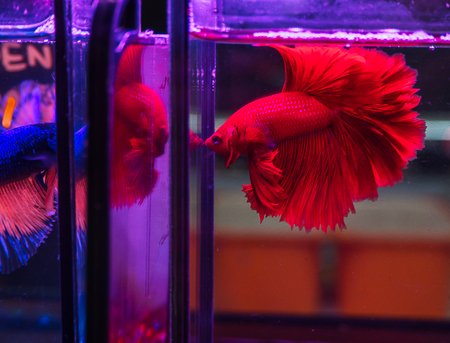 Siamese fighting fish , Beauty in nature.  (soft focus )
