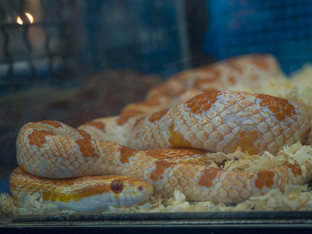 (Close Up) picture of a beautiful corn snake.
