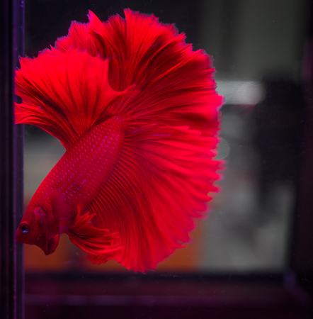 Siamese fighting fish , Beauty in nature. (soft focus ) Stock Photo