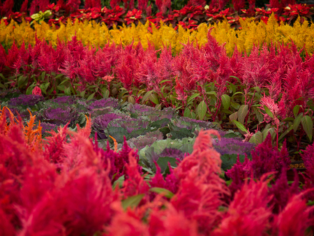Ornamental cabbage and Red celosia spicata flowers. (select focus)