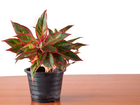 aglaonema in flower pot , (with free space for text) 스톡 콘텐츠