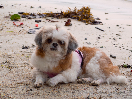 Shih Tzu dog outdoor portrait at beach , Beauty in nature.