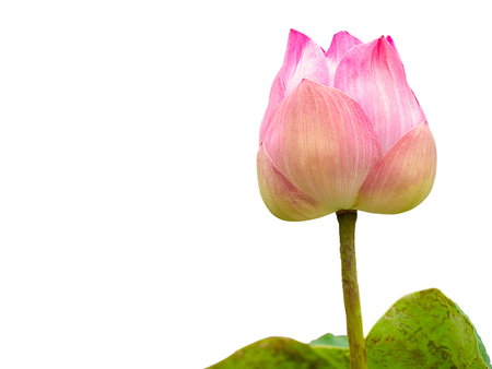 Pink lotus flower. (with free space for text , clipping path)