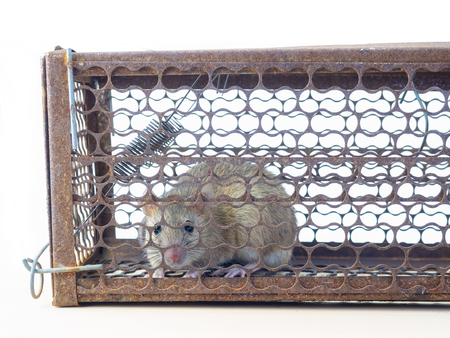 (Close Up) Mouse caught in a mousetrap. Stock Photo