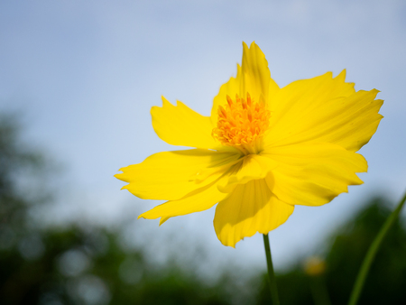 (Close Up) Yellow Cosmos in the garden. with copy space. Imagens