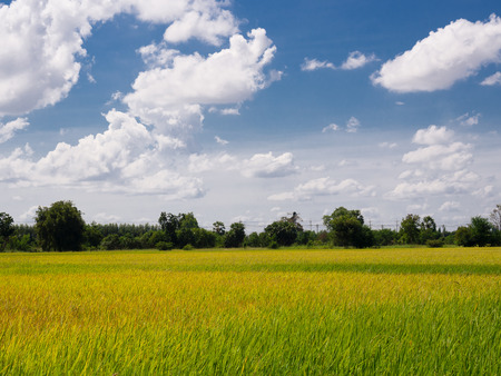 Rice plant in paddy field and Beautiful sky background. Imagens