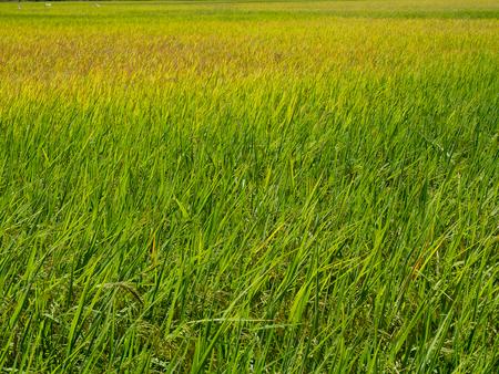 Rice plant in paddy field. (Healthy Food) 版權商用圖片