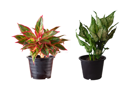 aglaonema and dieffenbachia in flower pot isolated on white background.