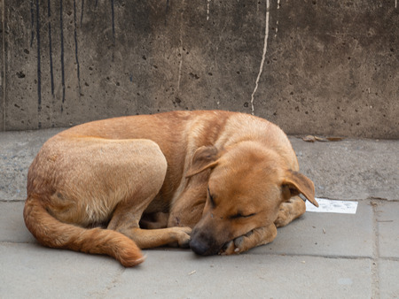Lonely homeless stray dog is laying at urban road.
