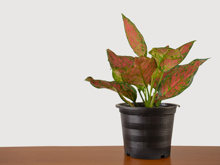 Red or Pink Aglaonema (Chinese Evergreen) isolated on white background. (This has clipping path) selective focus.