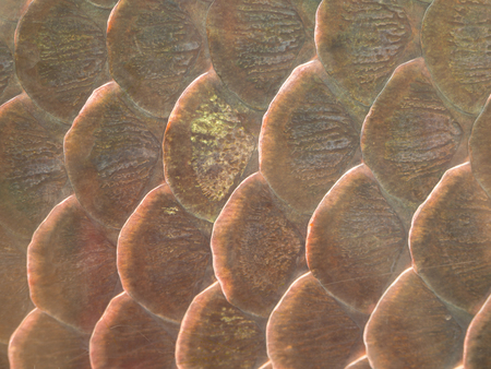 (Close Up) Fish scale texture for background.