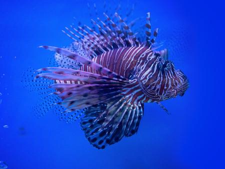 (Close Up) lion fish beautiful.