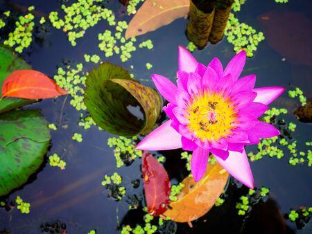 pink waterlily or lotus flower in pond. (Beauty in nature) Zdjęcie Seryjne