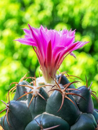 Cactus, blooming Coryphantha elephantidens , with pink flower.