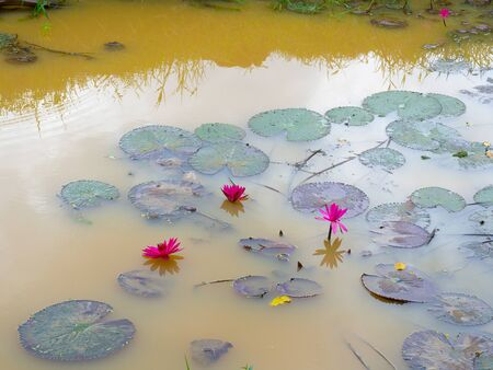 beautiful lotus flower in the pond , landscape of lotus pond.