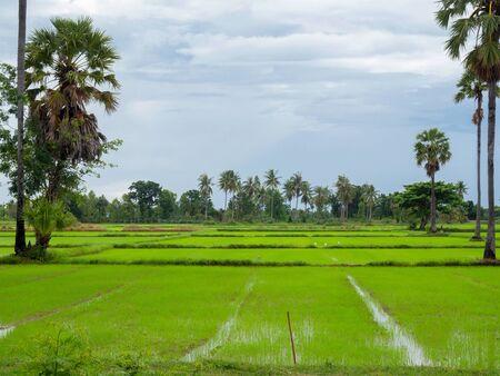 Rice field green grass blue sky cloud. (summer landscape background)