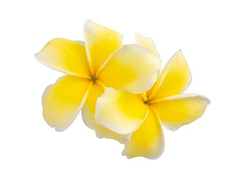 beautiful white plumeria rubra flowers isolated on white background. (This has clipping path)